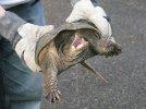 turtle peeing.jpg